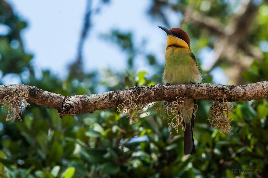Chessnut headed bee-eater