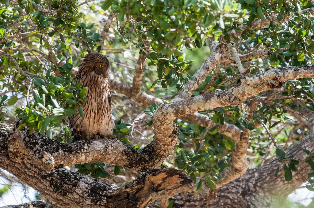 Sri Lankan Brown Fish Owl