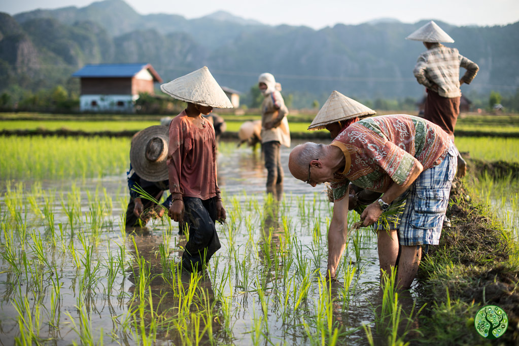 The art of rice planting