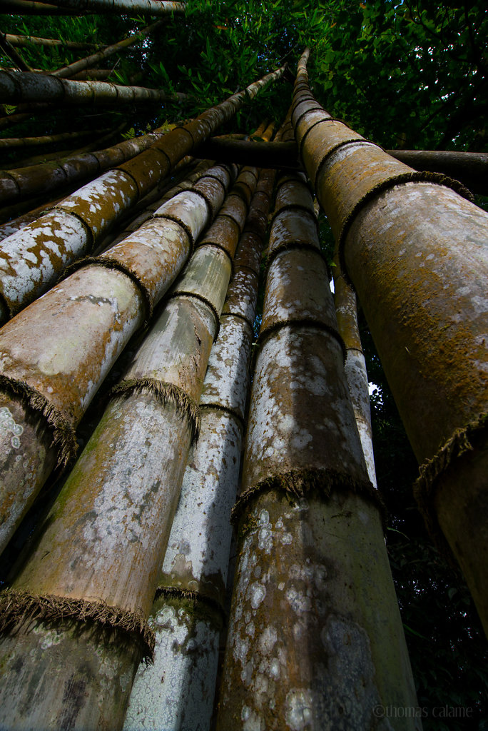 Giant bamboo on the Boloven Plateau