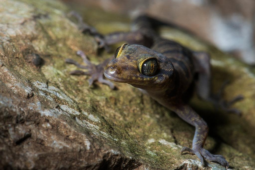 Cyrtodactylus phongnhakebangensis
